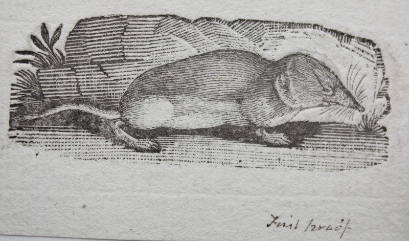 Portrait of a Shrew, from 'Bewick's Quadrupeds'. Courtesy of the Natural History Society of Northumbria.